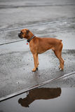 Dog next to puddle Stock Photo