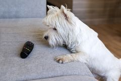 Dog next to the sofa, remote, West highland white Terrier. Dog with white fur next to the sofa, remote, West highland white Terrier stock image