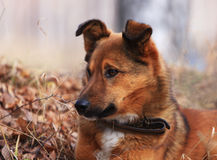 Dog on a nickname Red. The loyal friend and the reliable watchman Royalty Free Stock Photography