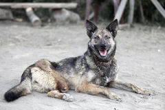 Dog with no leg. Unhappy animal Royalty Free Stock Image
