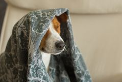 Dog nodding under coverlet in favorite chair closely. Indoor portrait of royal basenji dog nodding under coverlet in favorite chair closely Royalty Free Stock Photos