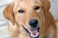 Dog nose. Labrador retriever - dog nose closeup Stock Photography