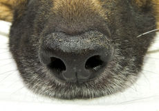 Dog nose Royalty Free Stock Photography