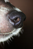 Dog Nose Stock Image