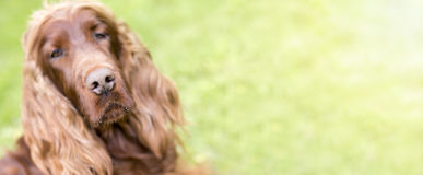 Dog nose banner Royalty Free Stock Photo