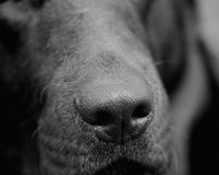 Dog nose Stock Photography