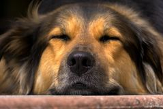 Dog, Nose, Close, Head, Tired Stock Image