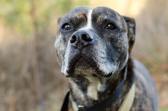 Dog Nose close up, Bulldog Mastiff Royalty Free Stock Photo