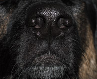 Dog nose Royalty Free Stock Image