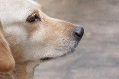 Dog nose. Closeup of a dog nose / pet animal Royalty Free Stock Image