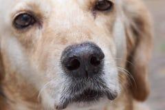 Dog nose Stock Photography