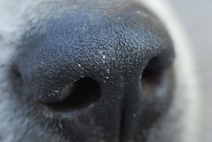 Dog nose macro. Closeup dry dog nose stock image