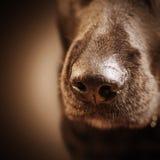 Dog nose over dark Stock Image