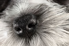 Dog Nose. Parti Color Miniature Schnauzer dog nose close-up. Extreme shallow depth of field with selective focus on puppies nose Royalty Free Stock Photos
