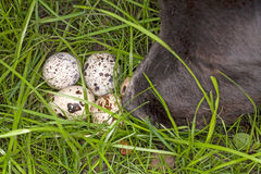 Dog nose and quail eggs Royalty Free Stock Images