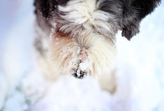 Dog nose with snow Stock Images
