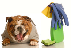 Dog not house trained. Adorable bulldog sitting beside cleaning supplies laughing - concept of dog not being house trained Royalty Free Stock Photography