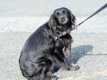 Dog not keen on seeing vet, veterinarian. Refusing, resisting. Stock Photo