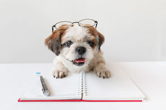 Dog with notebook and pen. Cute dog, Shih tzu, Poodle mix with notebook and pen on grey background Royalty Free Stock Photo