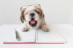 Dog with notebook and pen. Cute dog, Shih tzu, Poodle mix with notebook and pen on grey background Stock Photo