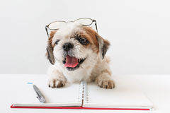 Dog with notebook and pen. Cute dog, Shih tzu, Poodle mix with notebook and pen on grey background Royalty Free Stock Images