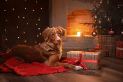 Dog Nova Scotia Duck Tolling Retriever Christmas, new year, holidays and celebration. Royalty Free Stock Images