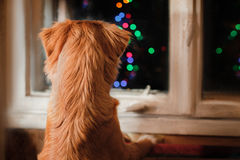 Dog Nova Scotia Duck Tolling Retriever, Christmas and New Year, portrait dog on a studio color background. Dog Nova Scotia Duck Tolling Retriever, Christmas and royalty free stock photo
