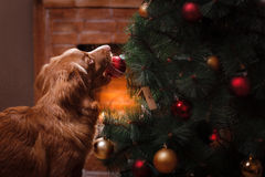 Dog Nova Scotia Duck Tolling Retriever, Christmas and New Year, portrait dog on a studio color background. Dog Nova Scotia Duck Tolling Retriever, Christmas and stock photos