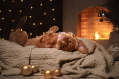 Dog Nova Scotia Duck Tolling Retriever Christmas season 2017, new year. Holidays and celebration. Relax in the room by the fireplace stock photos