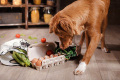 Free Dog Nova Scotia Duck Tolling Retriever , Foods Are On The Table In The Kitchen Stock Photography - 70270392