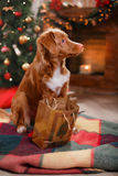 Dog Nova Scotia Duck Tolling Retriever holiday, Christmas. And New Year Stock Image