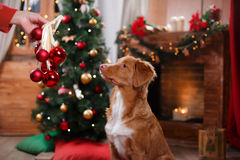 Dog Nova Scotia Duck Tolling Retriever holiday, Christmas. And New Year Stock Photos