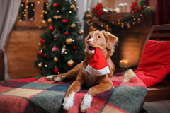 Dog Nova Scotia Duck Tolling Retriever holiday, Christmas. And New Year Royalty Free Stock Image
