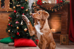 Dog Nova Scotia Duck Tolling Retriever holiday, Christmas. And New Year Stock Photography