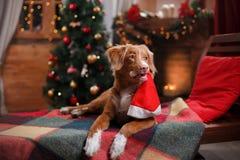 Dog Nova Scotia Duck Tolling Retriever holiday, Christmas Stock Photos
