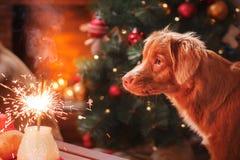 Dog Nova Scotia Duck Tolling Retriever, jul och det nya året, ståendehund på en studiofärgbakgrund Fotografering för Bildbyråer