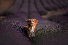 Dog Nova Scotia duck tolling Retriever on lavender field Royalty Free Stock Images