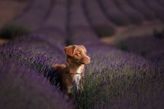 Dog Nova Scotia duck tolling Retriever on lavender field Stock Photos