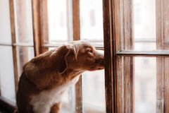 Dog Nova Scotia Duck Tolling Retriever looking out the window Royalty Free Stock Photos