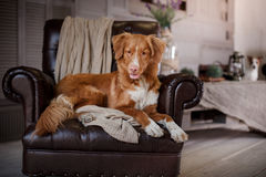 Dog Nova Scotia Duck Tolling Retriever lying on the leather chair in interior loft Stock Image