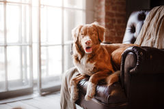 Dog Nova Scotia Duck Tolling Retriever lying on the leather chair next to a wooden window Royalty Free Stock Photos