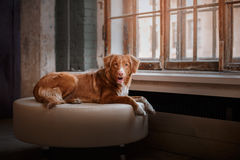 Dog Nova Scotia Duck Tolling Retriever lying on a leather pouffe at a wooden window Stock Photos