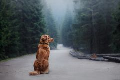 Dog Nova Scotia duck tolling Retriever in the mountains royalty free stock images