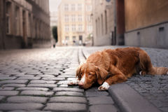 Dog Nova Scotia duck tolling Retriever in old town stock photos