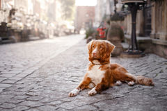 Dog Nova Scotia duck tolling Retriever in old town royalty free stock photos