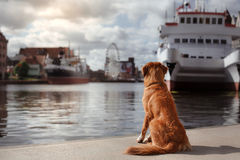 Dog Nova Scotia duck tolling Retriever in old town stock photo