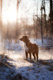 Dog Nova Scotia Duck Tolling Retriever outdoors in winter mood Stock Images