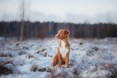Dog Nova Scotia Duck Tolling Retriever, outdoors in the winter, snow, Stock Photography