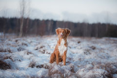 Dog Nova Scotia Duck Tolling Retriever, outdoors in the winter, snow, Stock Image