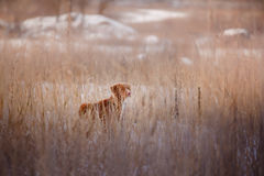 Dog Nova Scotia Duck Tolling Retriever, outdoors in the winter, snow, Royalty Free Stock Images